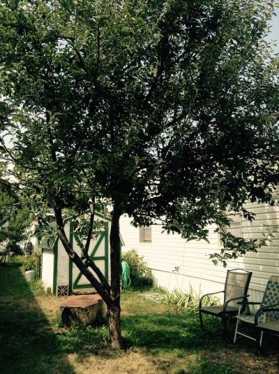Apple Tree and Shed