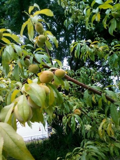peach tree backyard