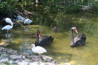Gorgeous Swans