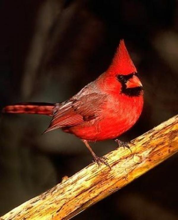 Cardinal Homes, Inc. Dealer Logo